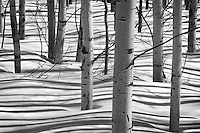 Undulating shadows created by Aspen trunks stripe the snow covered forest floor on a mid-winter day