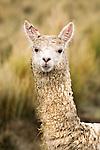 Alpaca (Vicugna pacos) female, Ciudad de Piedra, Andes, western Bolivia