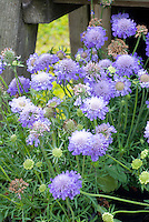 Scabiosa 'Mariposa Blue', blue flowered pincushion plant