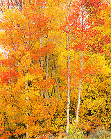 Red aspens saturate the mountain slope near Crested Butte, Colorado.