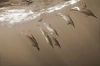 sepia composition Spinners Below, spinner dolphin, Stenella longirostris, Kona Coast, Big Island, Hawaii, USA, Pacific Ocean