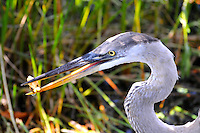 "Great Blue Heron ""munching"" on  vegetation ""extracted"" from a bush. Photographed at Wakodahatchee Wetlands, Delray Beach, Florida."