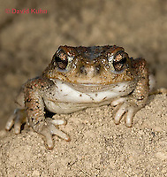 1101-0812  Adult Red-spotted Toad in Desert (Southwestern United States), Anaxyrus punctatus, formerly Bufo punctatus  © David Kuhn/Dwight Kuhn Photography.