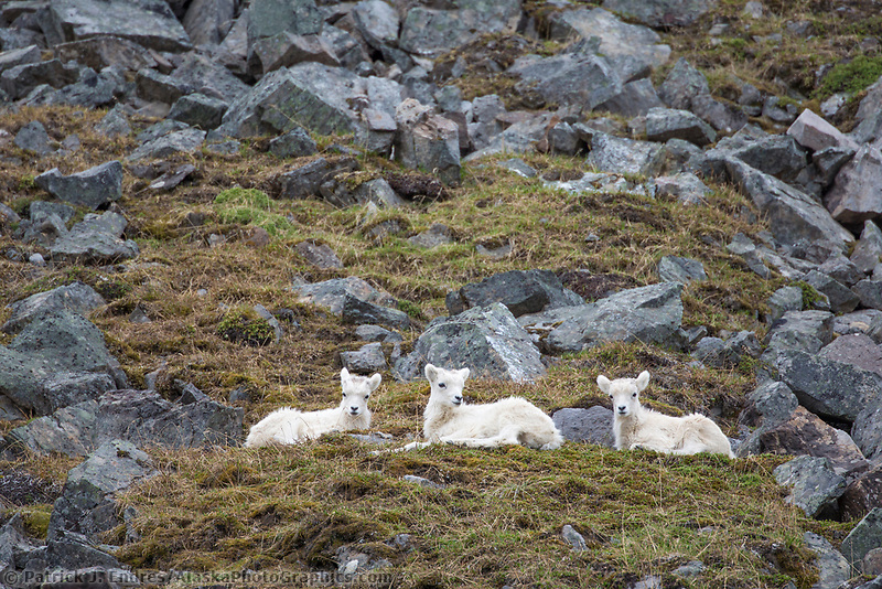 Dall sheep spring lambs in the Brooks Range mountains, Alaska.