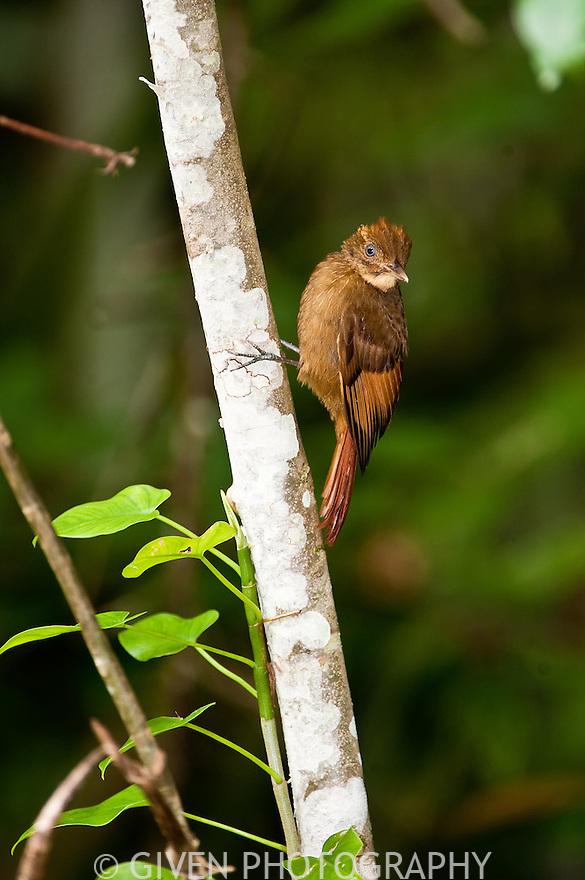 Rudy Woodcreeper, Belize