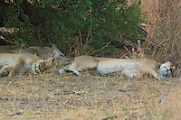 A pride of lions napping mid day in the Okavango Delta.