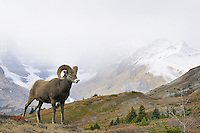 Bighorn Sheep Ram (Ovis canadensis).  Northern Rockies.  Fall.