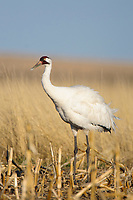 Adult Whooping Crane (Grus americana) from the wild population foraging in a corn field during spring migration. Central South Dakota. April.