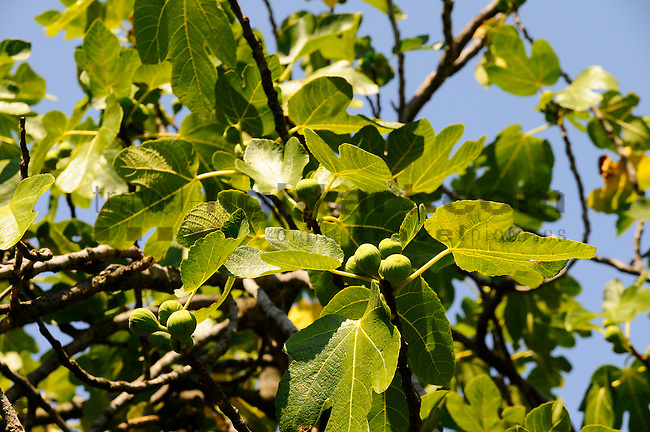 Feigenbaum, Fig tree, Moraceae, Krk Island, Dalmatia, Croatia. Insel Krk, Dalmatien, Kroatien. Krk is a Croatian island in the northern Adriatic Sea, located near Rijeka in the Bay of Kvarner and part of the Primorje-Gorski Kotar county. Krk ist mit 405,22 qkm nach Cres die zweitgroesste Insel in der Adria. Sie gehoert zu Kroatien und liegt in der Kvarner-Bucht suedoestlich von Rijeka.