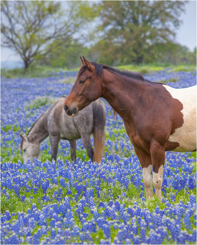This horse photo shows two horses in a field of bluebonnets near Marble Falls, Texas.