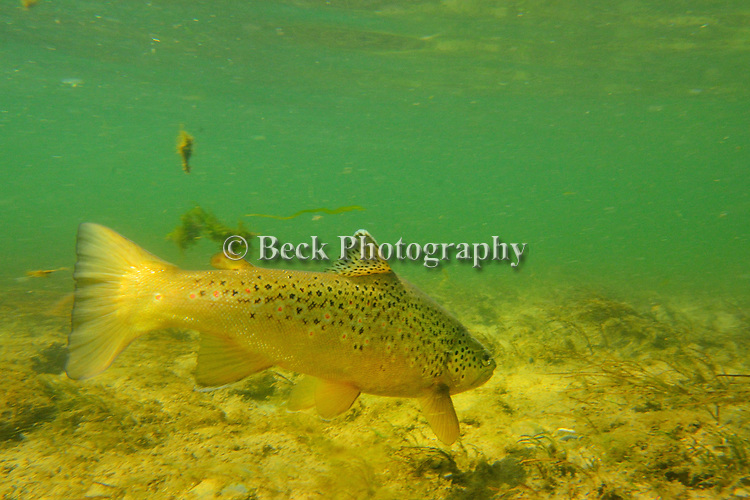 Bighorn Underwater brown trout