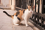 Calico cat in the walled city (stari grad) of Duvbrovnik, founded c. 972 along the Dalmatian Coast on the Adriatic Sea in Croatia