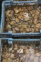 Europe/France/Bretagne/29/Finistère/Lannilis/Prat Ar Coum: - Huitres de Prat Ar Coum   sur le chantier ostréïcole  d'Yvon Madec sur  l'Aber Benoit