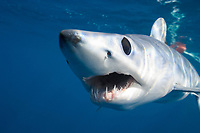 Shortfin mako shark; Isurus oxyrinchus;Cape Point, Cape Town, South Africa, Atlantic Ocean