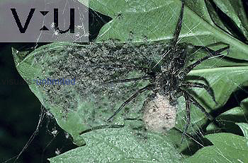 Fishing Spider ,Dolomedes, with its egg sac and emerging hatchlings, North America.