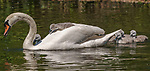 Young cygnets ride on their mother's back while in the sunshine on the River Stour at Muscliff near Bournemouth, Dorset.<br />