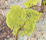 Gold Cobblestone Lichen (Pleopsidium chlorophanum) on dolomite. Along White Mountain Road. Ancient Bristlecone Forest. Inyo National Forest. Mono Co., Calif.