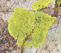 Gold Cobblestone Lichen (Pleopsidium chlorophanum) on dolomite. Along White Mountain Road. Ancient Bristlecone Forest. Inyo National Forest. Mono Co., Calif.