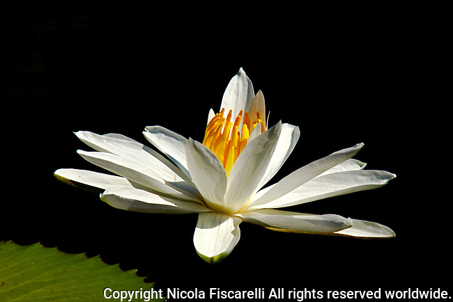 A close-up of a  white flowering  water lily.