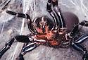 Sydney Funnelweb Spider (Atrax robustus) female in attack mode. Sydney NSW