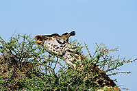 Masai Giraffe (Giraffa camelopardalis) feeding in thorn bush.  East Africa.