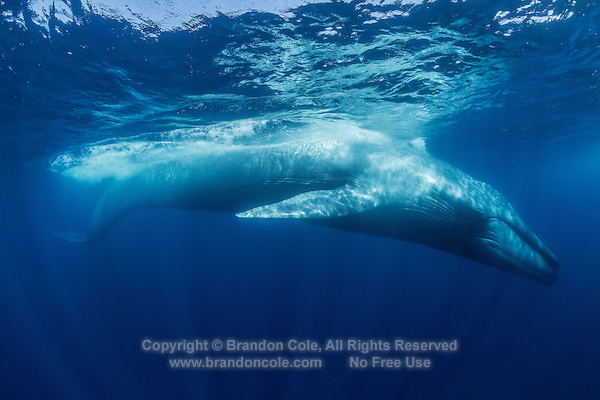 TC0401-D. Blue Whale (Balaenoptera musculus), the largest animal living on earth. Historically, some grew to 110 feet long and 200 tons. Today, 85 feet and 100 tons is considered huge. Blue whales were hunted close to extinction until granted protection in the 1960s by which time some 400,000 had been killed. Some populations  (e.g. the Antarctic stock) may never recover. The California subpopulation (est. 2,200), however, has nearly recovered to pre-whaling levels. Estimated worldwide population today is 15,000 to 20,000 whales. Pacific Ocean.<br /> Photo Copyright &copy; Brandon Cole. All rights reserved worldwide.  www.brandoncole.com