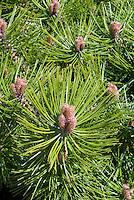 Pinus densiflora 'Jane Kluis'