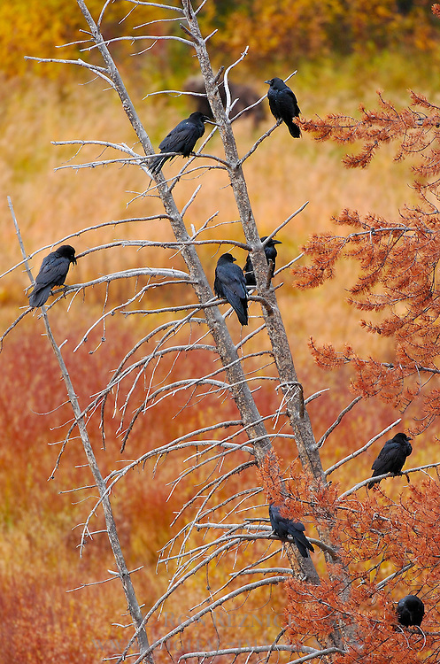 Ravens in a Dead Tree, Yellowstone National Park, Wyoming