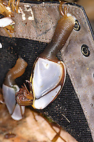 Common Goose Barnacle - Lepas anatifera