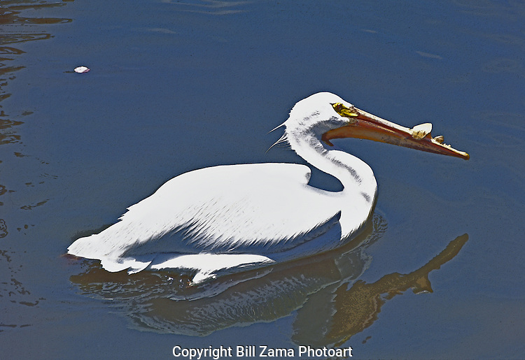 Snowy Egret cruising down the San Antonio River.  An illustration.