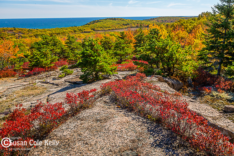 Blueberry foliage under Champlain Mountain in Acadia National Park, Maine, USA