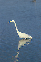 Great egret wading in water looking for fish, Ding Darling wildlife refuge, Florida USA
