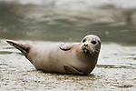 Harbor Seal (Phoca vitulina) pup on shore, Elkhorn Slough, Monterey Bay, California