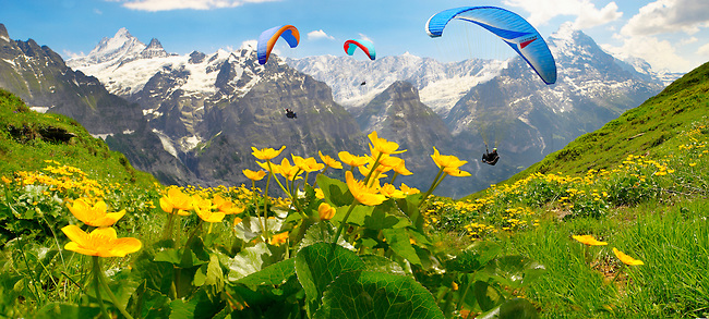 Paragliders over meadows of Alpine Marsh Marigolds ( Caltha Palustris ) . Faulhorn Mountain , Bernese Alps . Switzerland