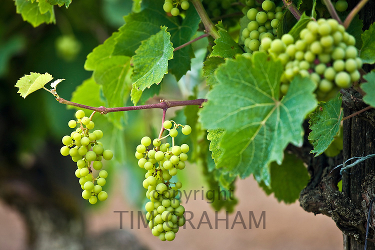 Green grapes ripening on grapevine in vineyard in the Dordogne, France