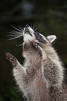 "Waschbär, etwa 6 Monate altes Jungtier, Männchen, Rüde, Waschbaer, Wasch-Bär, Procyon lotor, Raccoon, Raton laveur, ""Frodo"""