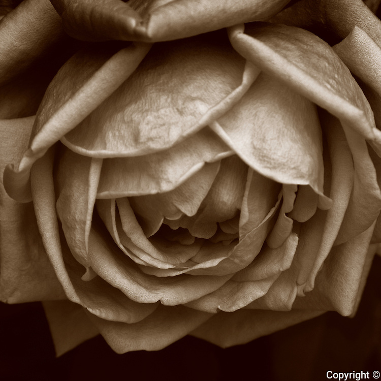 Fine art photography of sepia toned flowers
