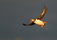 Atlantic Puffin Fratercula arctica in flight with fish in its beak, Sule Skerry, Scotland, UK