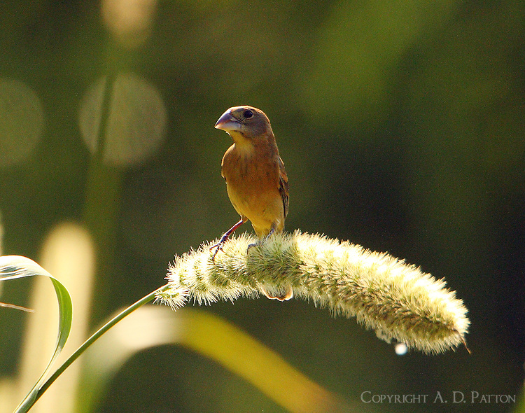 Adult female blue grosbeak feeding on seed head