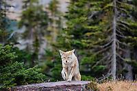 Wild Coyote (Canis latrans) crossing thru subalpine meadow.  Western U.S., Fall.