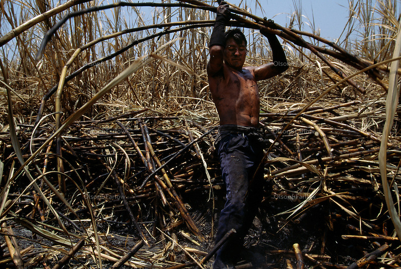 Workers bake in the searing hot sun cutting sugar and chew some of the sweet raw cane.  Faces are blackened after the fields are burned.  The sharp leaves destroy workers and tools, so they are burned before the raw sugar is harvested. The stalks are then loaded on a truck, taken to a mill to be processed into white and brown sugar. The Pomalca sugar cane coop located at Campo Rosaliais in Peru lost 100 hectres of land because El Nino flooding left the fields too rocky for planting.