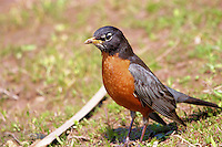 Close up of a robin with soil on its beak from hunting for worms
