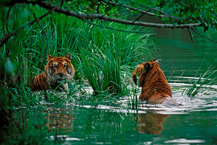 Two Bengal tigers, Panthera tigris corbetti, cool off on a hot afternoon in Thailand.