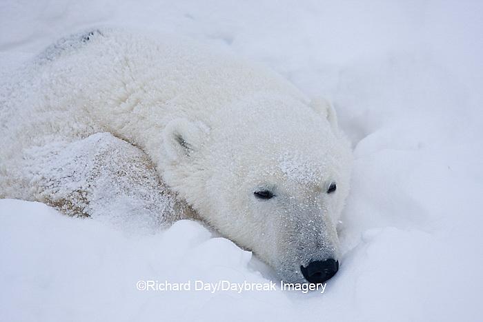 01874-11509 Polar Bear (Ursus maritimus) sleeping Churchill Wildlife Management Area MB