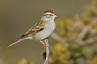 Chipping Sparrow - Spizella passerina - Adult non-breeding