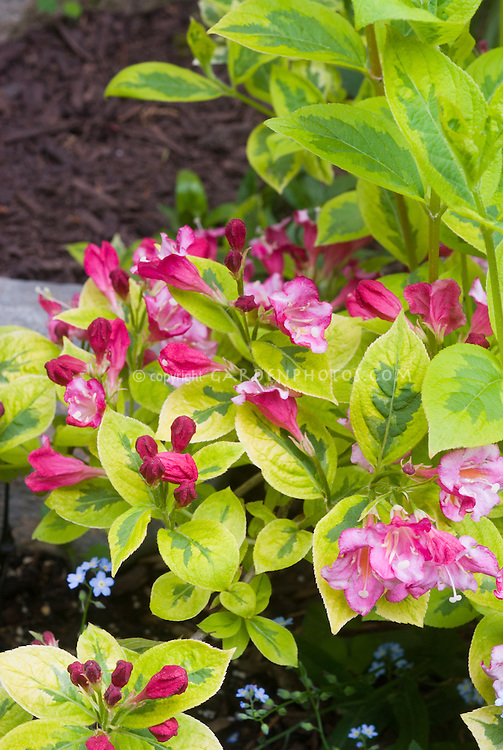 Spring Flowering Variegated Shrub Weigela French Lace With Pink