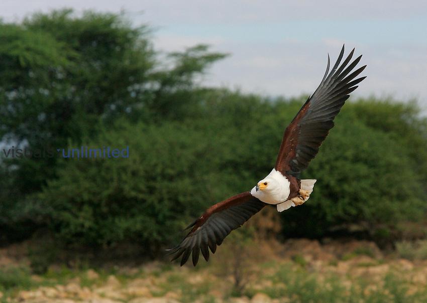 African Fish Eagle approaching, Lake Baringo, Kenya.