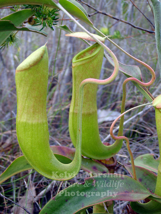 Nepenthes mirabilis from Latin: mirabilis = wonderful), or the Common Swamp Pitcher-Plant, is a tropical carnivorous plant species of the pitfall trap variety. It has by far the widest distribution of any Nepenthes species.
