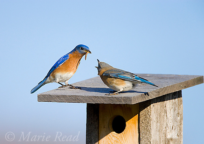 Eastern Bluebird (Sialia sialis), male bringing food (mealworm) to begging female on nestbox, New York, USA