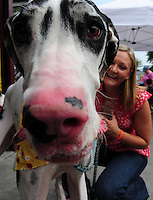 Lucy, the Great Dane, takes her owner, Stephanie Martello, to the Dogtoberfest celebration to benefit the Dane County Humane Society at Capital Brewery in Middleton on Saturday, September 27, 2008